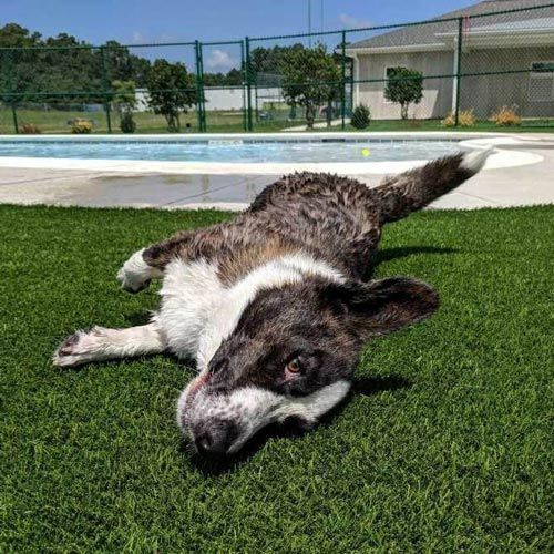 Pet rolling around on SynLawn artificial turf