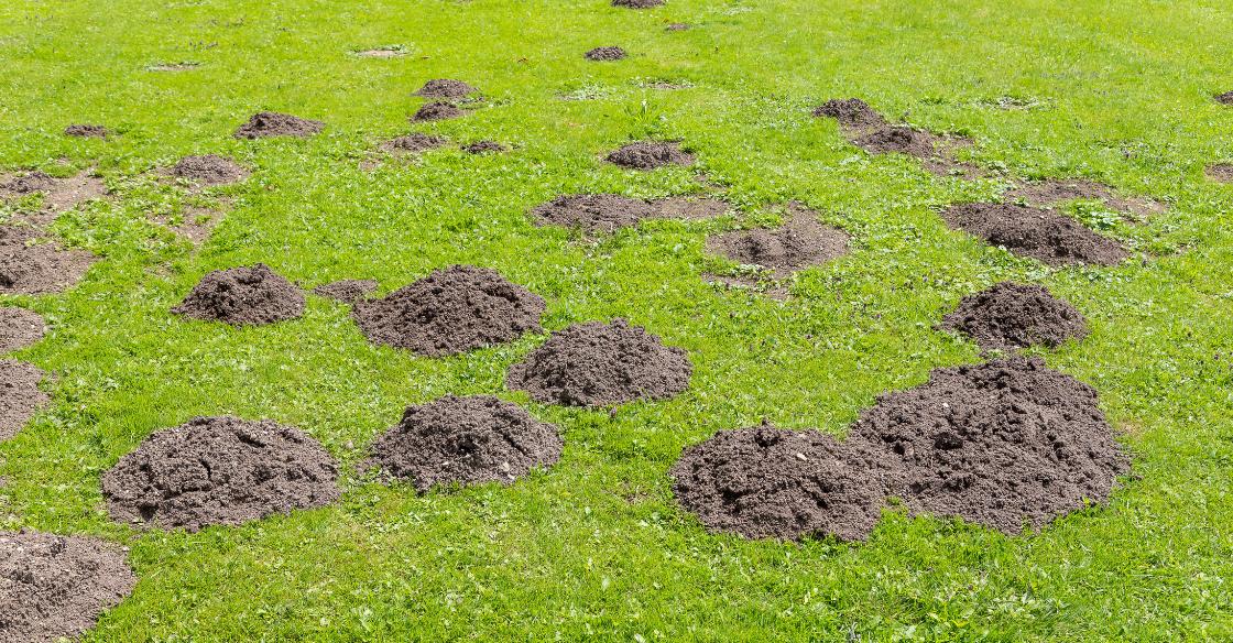 Mole holes in lawn